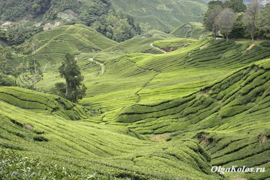 Чайные плантации в Cameron Highlands