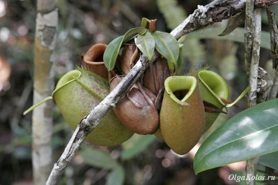 Насекомоядное растение (Pitcher plant). Национальный парк Бако