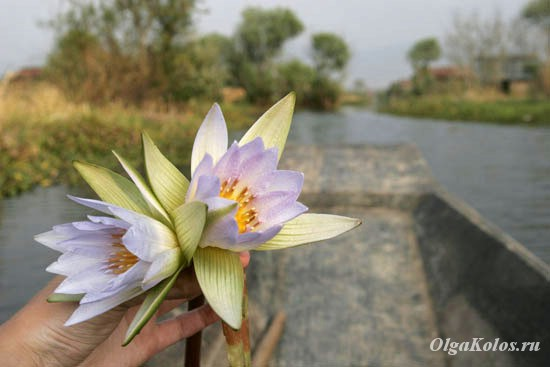 Цветок лотоса. Озеро Инле