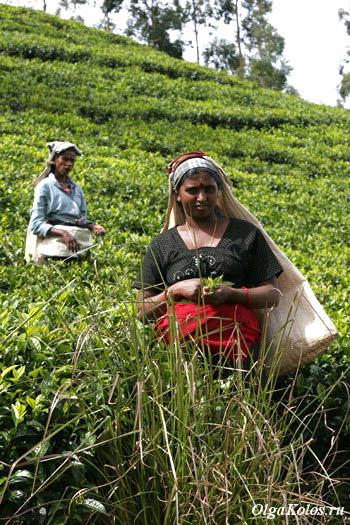 Чайные плантации рядом с Хапутале