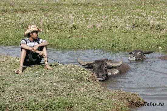 Мальчик и буйволы. Сипо