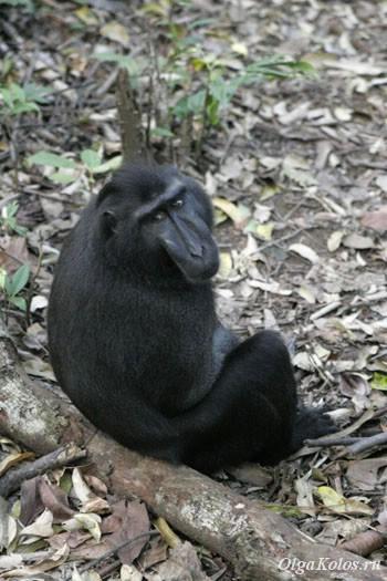 Черная макака - эндемик севера Сулавеси