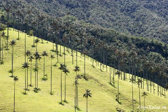 Восковые пальмы в долине Кокора рядом с Саленто