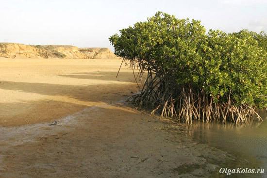 Мангровые заросли в Пунта Гальинас