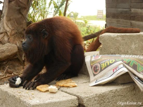 Ручной обезьян-ревун