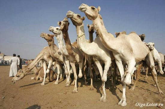 Верблюжий рынок в Биркаш