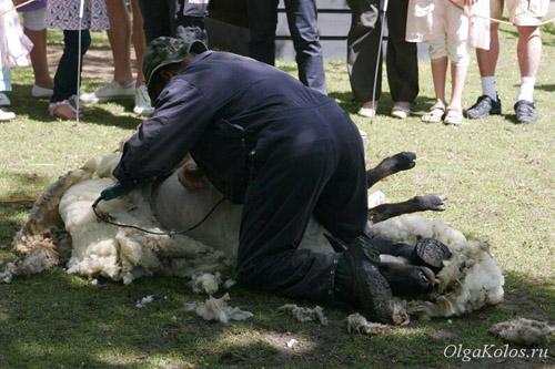Стрижка овцы в  Keukenhof