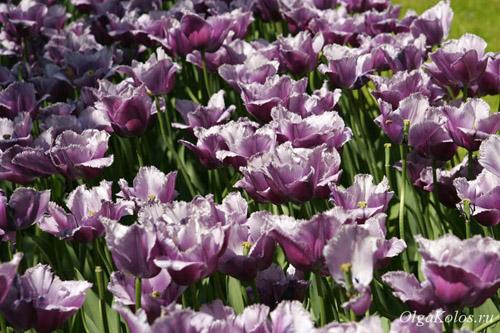 Голландский парк с тюльпанами Keukenhof