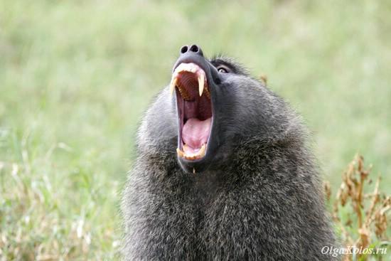 Зевающий бабуин в национальном парке Накуру