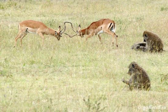 Газели и бабуины в национальном парке Накуру