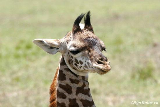 Жирафенок в Масаи Мара