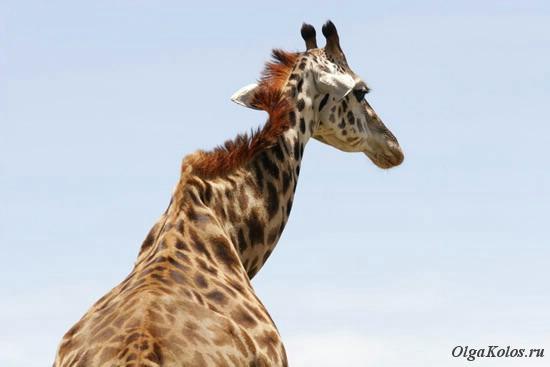 Жираф в национальном парке Масаи Мара
