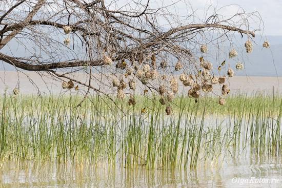 На озере Баринго
