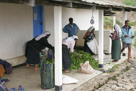 Приемка чайных листьев рядом с Хапутале