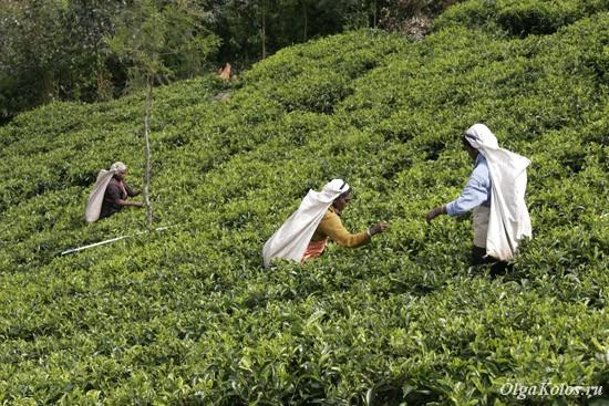 Чайные плантации рядом с Дамбатенне